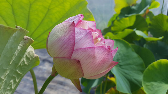 Nelumbo IT-13