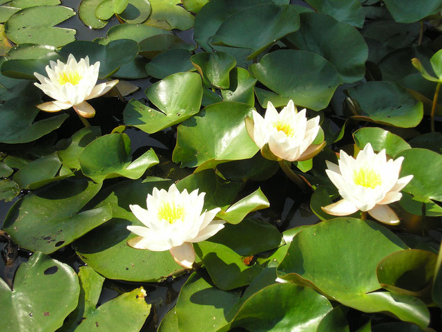 Nymphaea Walter Pagels