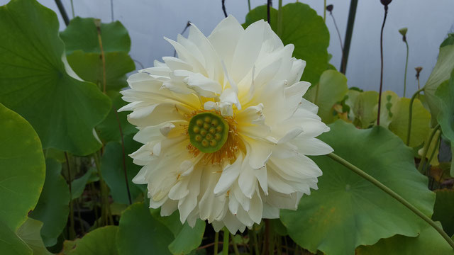 Nelumbo IT-14