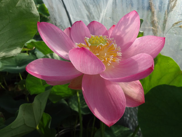 Nelumbo Lotusland's Orchid Pink Bowl