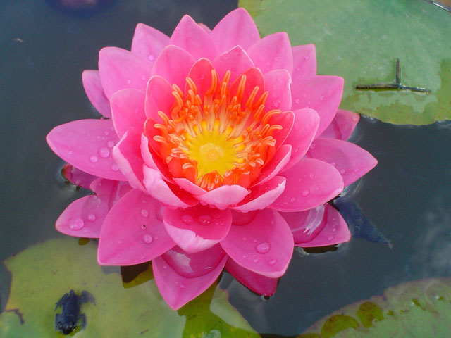 Nymphaea Perry's Vivid Rose