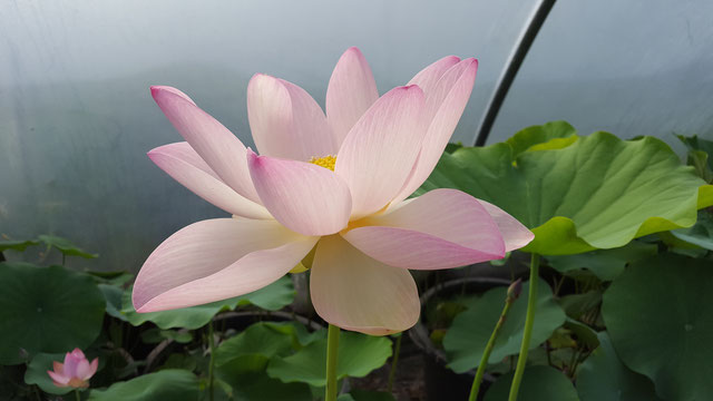 Nelumbo Lotusland's Misty Day