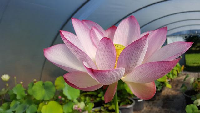 Nelumbo Lotusland's Ren Ren
