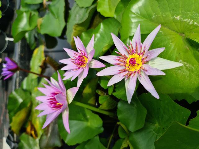 Nymphaea colorata pink