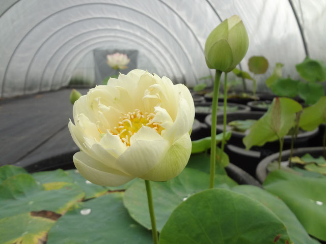 Nelumbo Fuling Autumn
