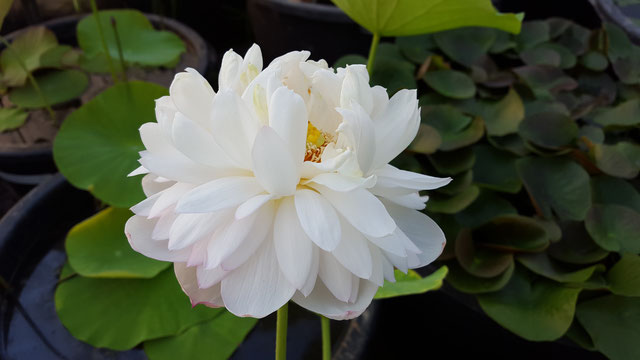 Nelumbo White Sponge