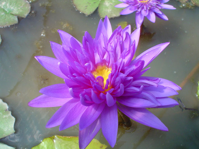 Nymphaea Midnight