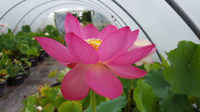 Nelumbo Lotusland's Violet on Pink
