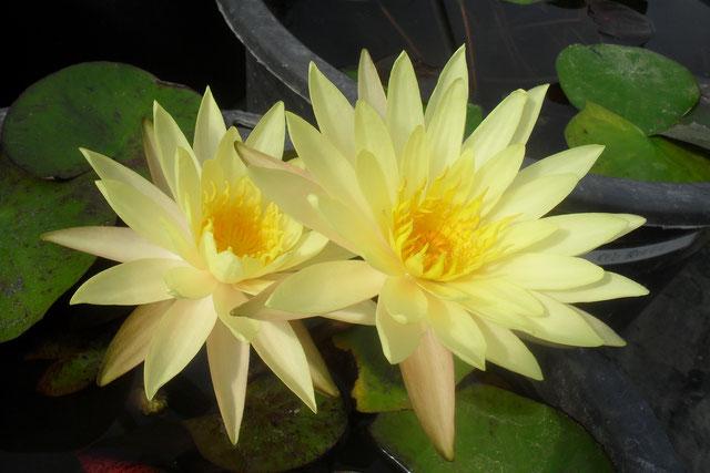 Nymphaea Sribangpra