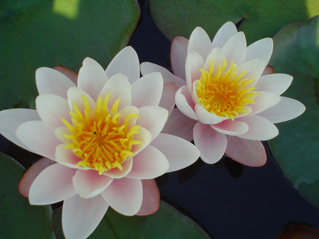 Nymphaea Rose Magnolia