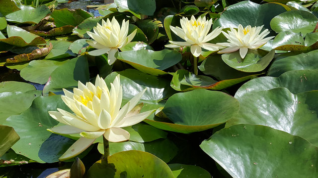 Nymphaea Lemon Mist