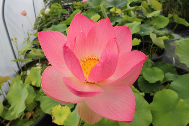 Nelumbo Red Strong