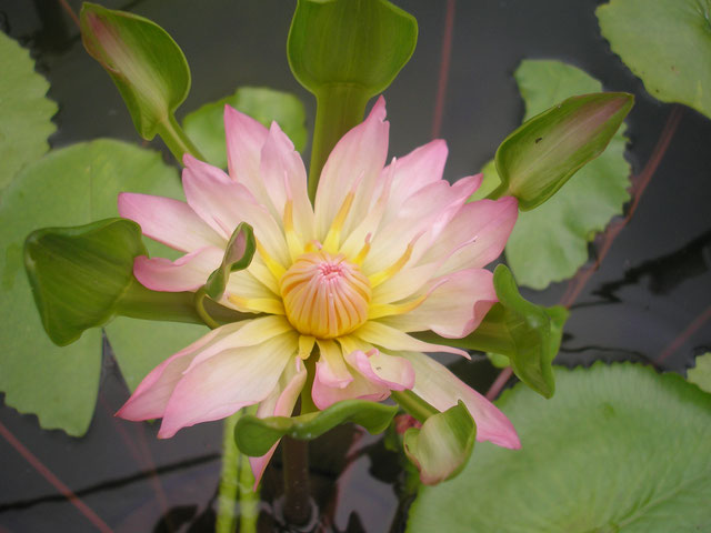 Nymphaea Indian Goddess Pink