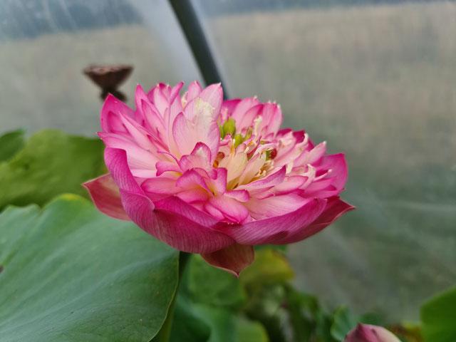 Nelumbo Pink Pearl