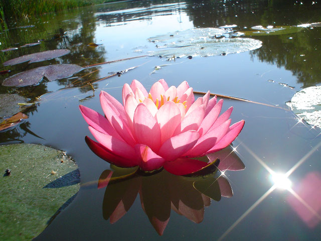 Nymphaea Celebration