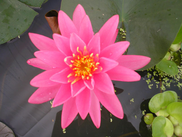 Nymphaea Super Rose