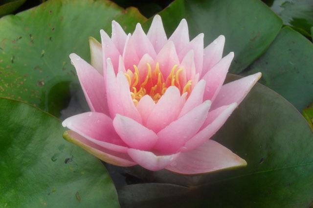 Nymphaea Perry's Pink Delight