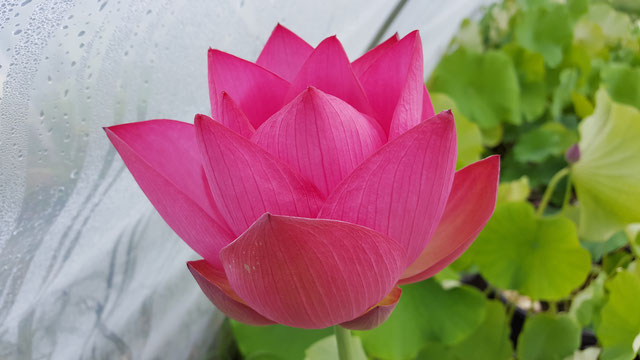 Nelumbo IT-3