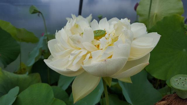 Nelumbo Cream Chrysanthemum