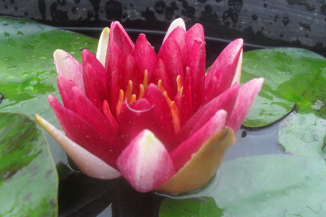 Nymphaea Perry's Deepest Red