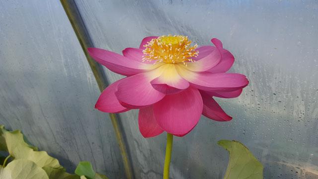 Nelumbo Lotusland's Show me Pink