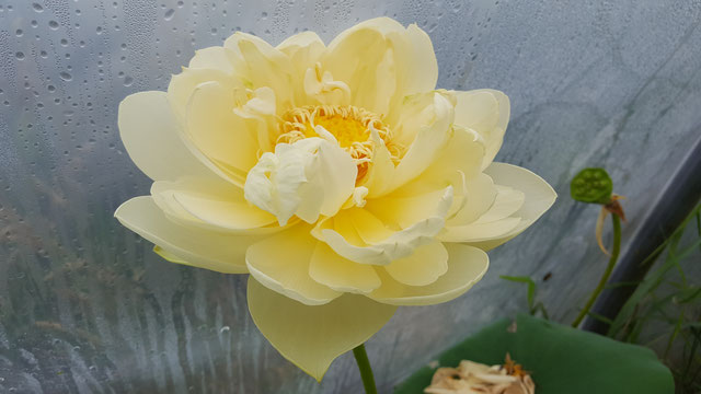 Nelumbo IT-4