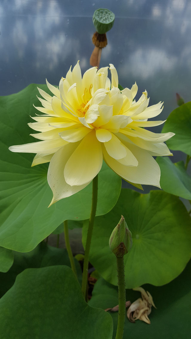 Nelumbo Autumn in Moling / Moling Qiu Se