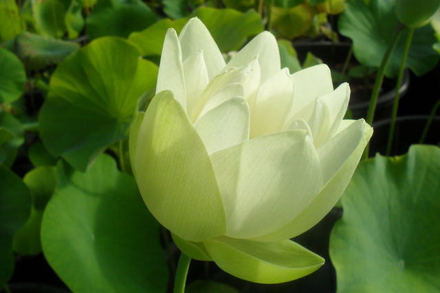 Nelumbo Korea White
