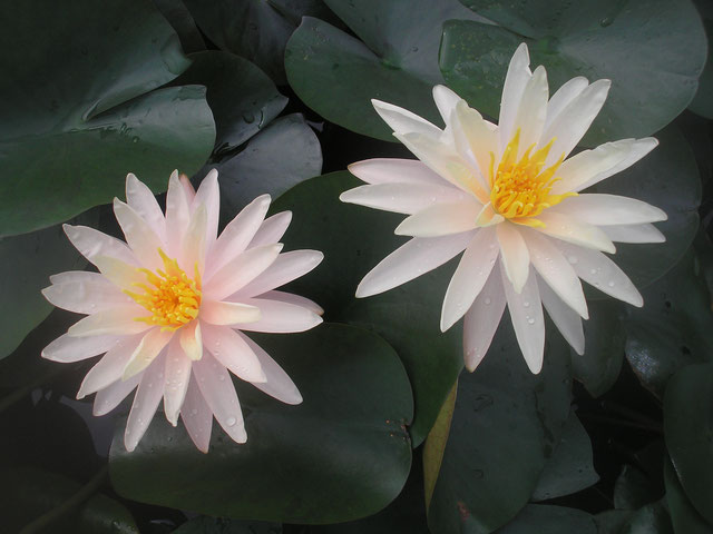 Nymphaea Starbright