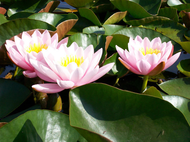 Nymphaea Perry's Pink Beauty