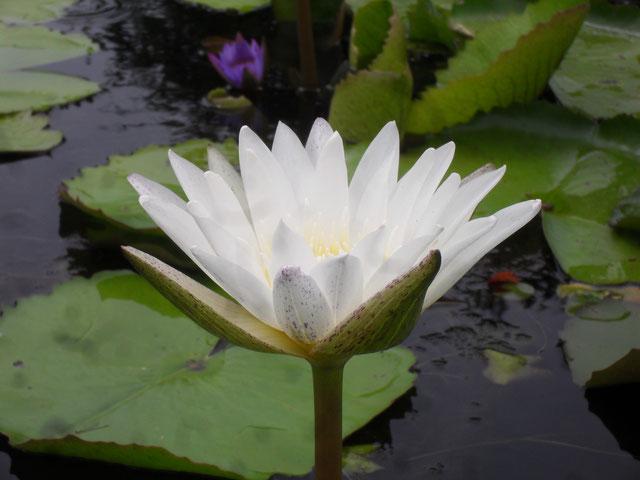 Nymphaea Khao Suphan