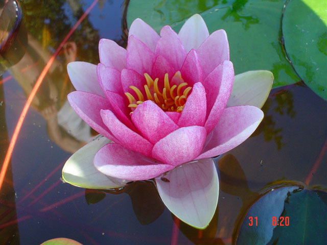 Nymphaea Marliacea Flammea Thai