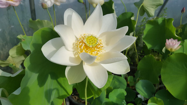 Nelumbo Lotusland's Sunday Elegance