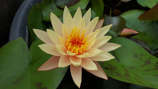 Nymphaea Hawaiian Gold