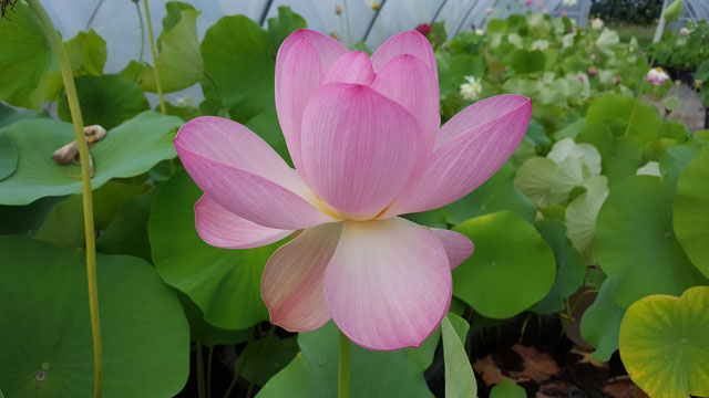 Nelumbo Lovely Grandma