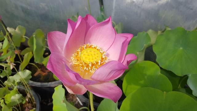 Nelumbo Lotusland's Rose Excellent S-2014-G03