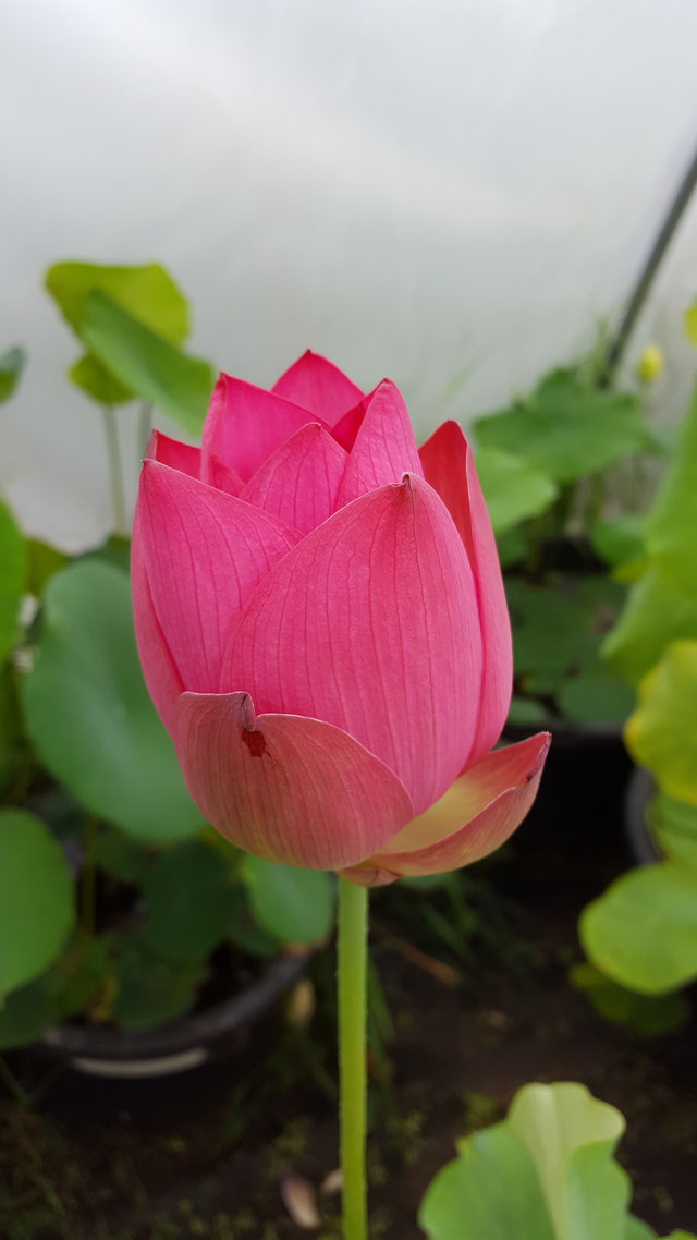 Nelumbo IT-5
