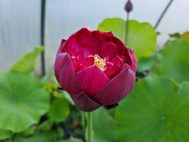 Nelumbo Rose Elegance