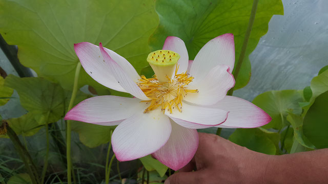 Nelumbo China S-2015-1
