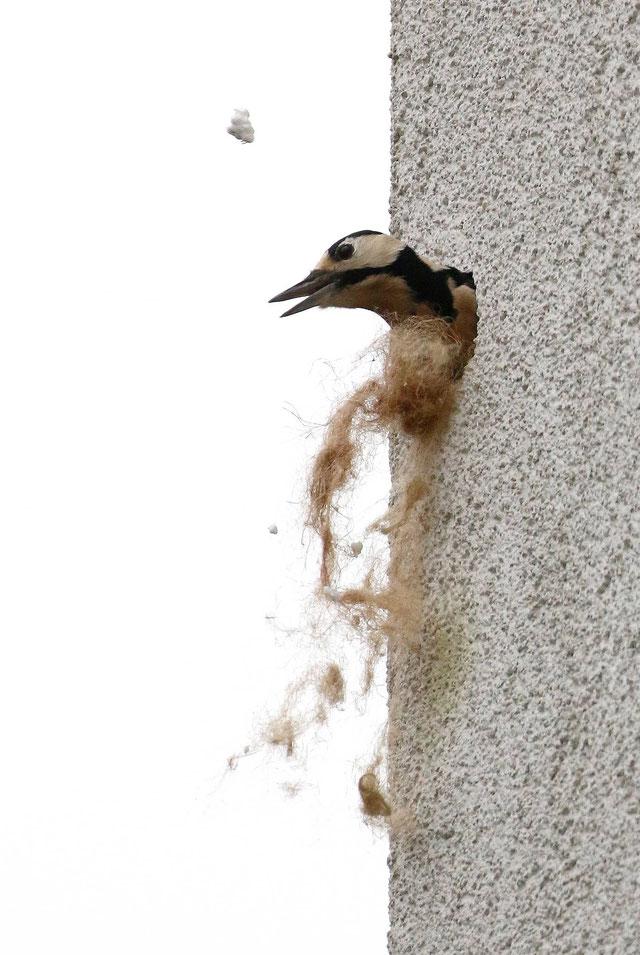 Buntspecht in Fassade(NABU/C. Pusch)