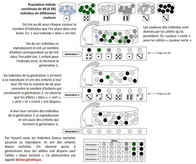 Modélisation de la dérive génétique. Cliquez sur l'image pour l'agrandir. Source: modifié de schéma SVT