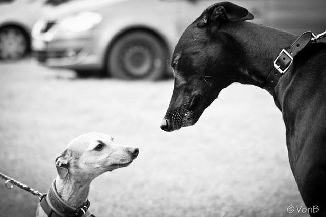 Greyhounds....groß und klein,Iggie and Grey.
