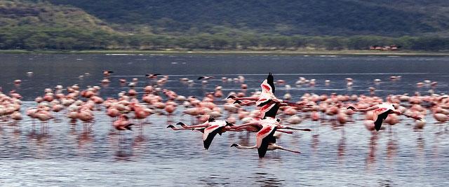 Flamingos flying at lake Nakuru