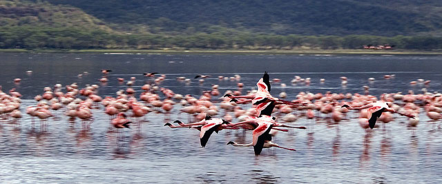 Laghi del Kenya - Flamingos flying at lake Nakuru
