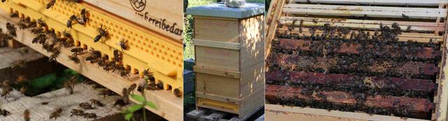 Bienen fliegen ein und aus  -  Magazin-Beute mit 3 Zargen  -  Bienen auf ihren Rähmchen, in denen sie die Waben bauen