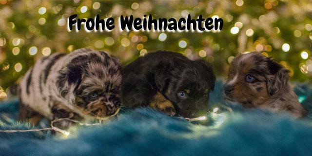 Frohe Weihnachten Zucht Mini Aussie NRW