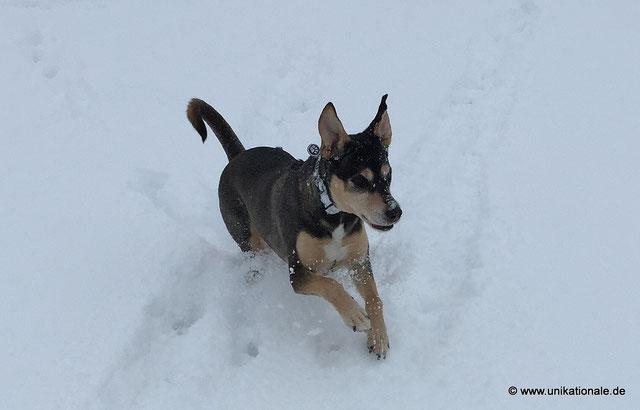 Danna rennt - rennender Hund im Schnee