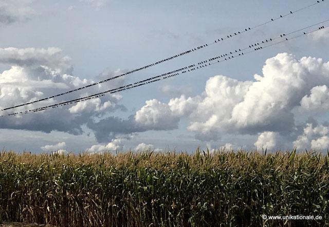 Vögel sammeln sich auf einer Stromleitung im Landkreis Schweinfurt