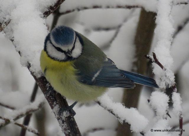 Blaumeise auf schneebedecktem Ast