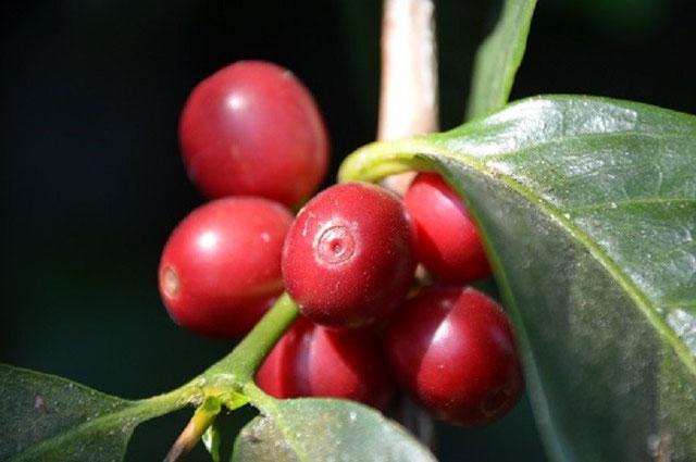 サンタカタリーナ農園 成熟したコーヒーチェリー